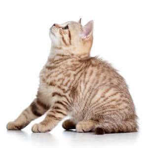 image of a tabby kitten