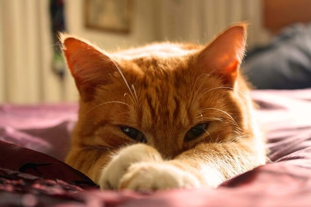 Male Orange Tabby Cats Outnumber Females Roximately 4 To 1