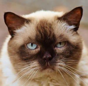 image of The Himalayan kitty