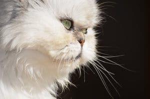 image of the Persian feline