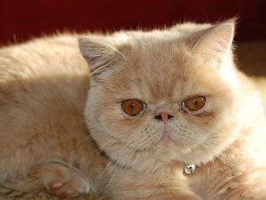 image of the exotic shorthair feline