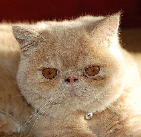 8 Flat Faced Cat Breeds That Will Melt Your Heart