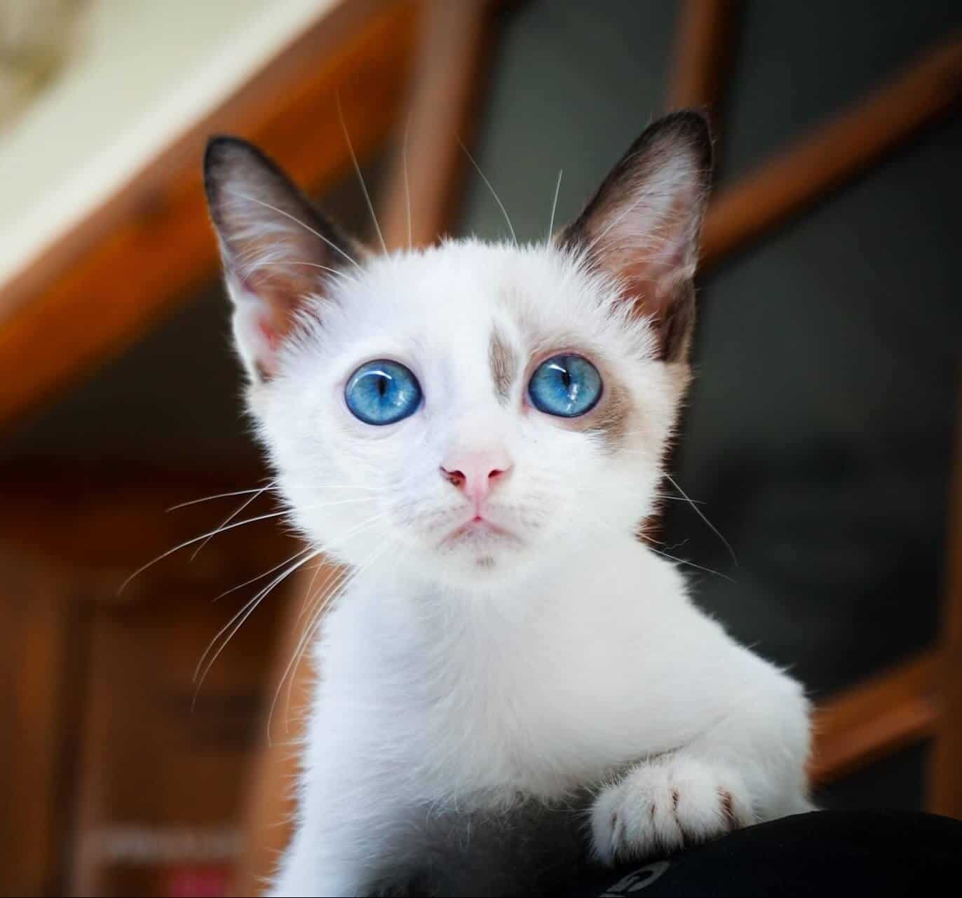 200+ White Cat Names For Your Fluffy Snowball
