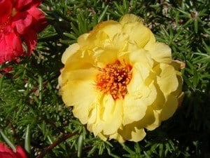 image of a moss rose