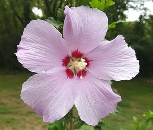 image of a rose of sharon