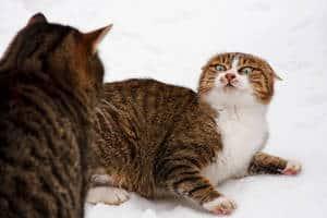 image of felines fighting