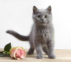 Kitten and pink rose