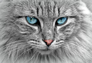 Siberian cat with blue eyes in close-up