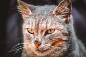 image of a fierce looking feline