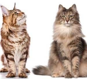 maine coon vs norwegian forest cat