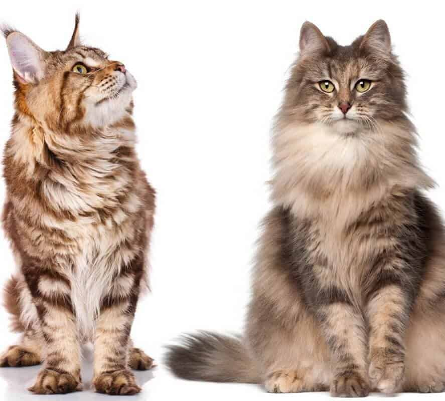 Norwegian Forest Cat Vs  Maine Coon: Which Is Bigger?