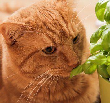 basil and your feline can cats eat basil. Black Bedroom Furniture Sets. Home Design Ideas