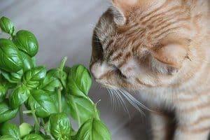 image of a feline sniffing Ocimum basilicum