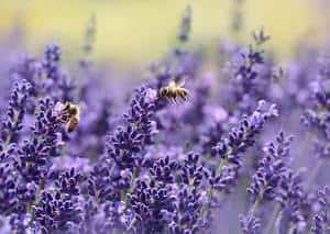 Is Lavender Oil Safe For Cats? The Dangers Of Lavender For Cats