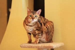 image of a Bengal feline