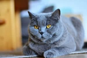 Picture of fat gray cat with yellow eyes