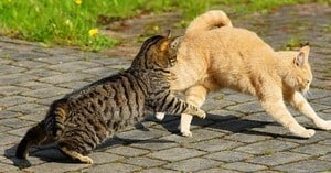 image of a male feline chasing a female to mate