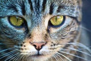 image of a tabby feline face