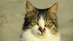 image of a kitty with unique face markings