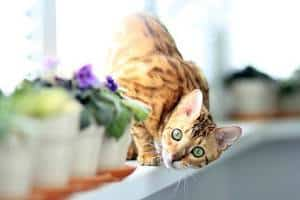 image of a Bengal kitty on a window