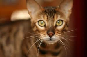 212 Great Names For Bengal Cats