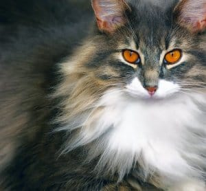 image of a furry fluffy feline
