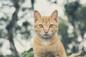 image of an orange cat