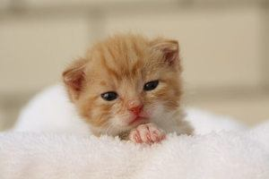 image of a small kitty with genetic disorder