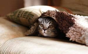 cat covered with a blanket