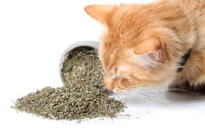 image of a kitty sniffing cat mint
