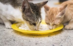 image of two felines eating white rice