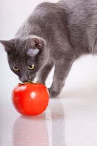 image of a feline sniffing a red tomato