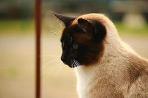 image of a Siamese feline