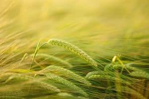 image of grains