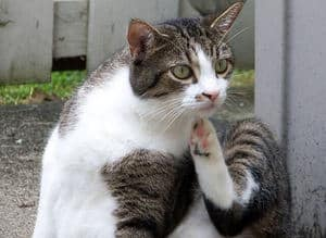 Image of a kitty scratching herself