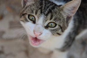 This Is Why Your Cat Breathes Heavily! It Could Be Dangerous!  Heavy Breathing Cat Picture