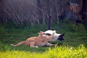 image of two felines fighting