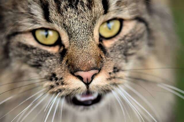 This Is Why Your Cat Breathes Heavily! It Could Be Dangerous!