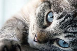 cat with the sky blue eyes