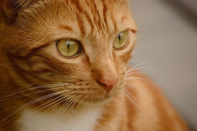 Orange Tabby Cats Facts, Personality And Genetics