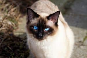 image of a blue eyed Siamese feline