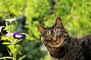 Tabby cat in front of the purple flower