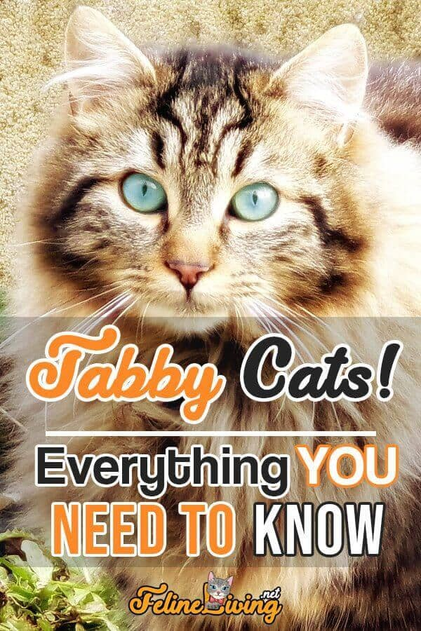 poster of Tabby cat with text ''Tabby Cats! Everything you need to know''