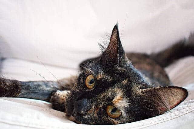 Tortoiseshell cats facts genetics and personality - Images of tortoiseshell cats ...