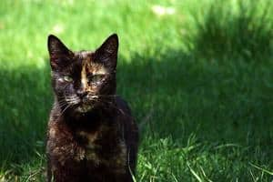 Tortoiseshell cat in the grass