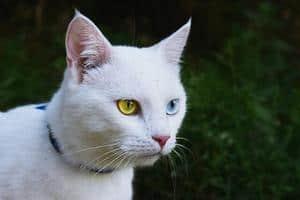 image of a white kitty with heterochromia