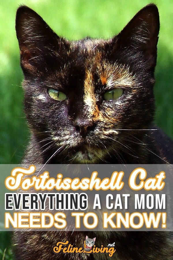 Poster of Tortoiseshell cat with the inscription ''Tortoiseshell cat everything a cat mom needs to know''