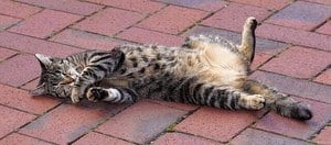 image of a feline on his back exposing the belly