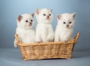 Photo of three white British kittens in basket