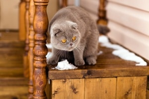 Picture of Fold grey cat with yellow eyes sitting on wooden stairs